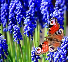 Red Admiral on grape hyacinth by RedMann