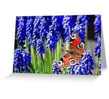 Red Admiral on grape hyacinth Greeting Card