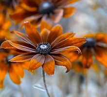 Rudbeckia by Mandy Disher