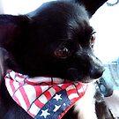 LAZARUS ~ Little boy Chihuahua by Marjorie Wallace