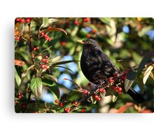 Blackbird and Winter Berries Canvas Print
