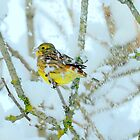 yellowhammer in the snow by Alan Mattison IPA