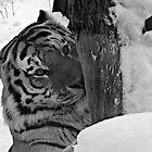 Dangerous, me?  Nah!  Come Closer (Amur Tiger) by Robert Miesner