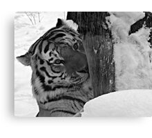 Dangerous, me?  Nah!  Come Closer (Amur Tiger) Canvas Print