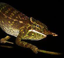 Petter's Chameleon by Robbie Labanowski