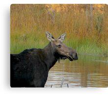 Maine Moose at dusk Canvas Print
