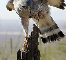 Gray Hawk  by Kimberly Chadwick