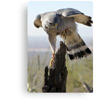 Gray Hawk  Canvas Print