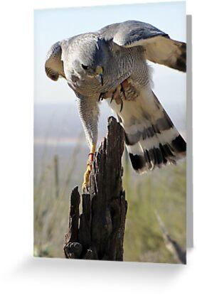 Gray Hawk  by Kimberly Chadwick