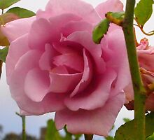 Christina's blue moon rose growing in country Victoria, Australia by Margaret Morgan (Watkins)