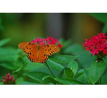 Orange butterfly on red flowers Photographic Print