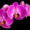 Pink Orchid by Daniel J. McCauley IV