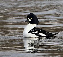 Mr Barrows / Barrows Goldeneye by Gary Fairhead