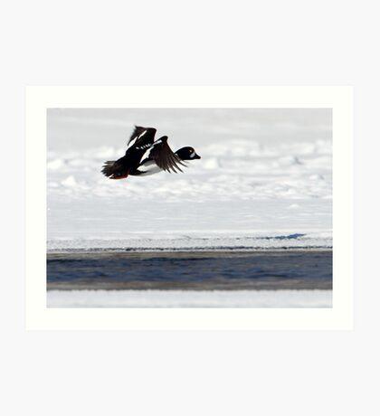 Barrows Goldeneye In Flight Art Print