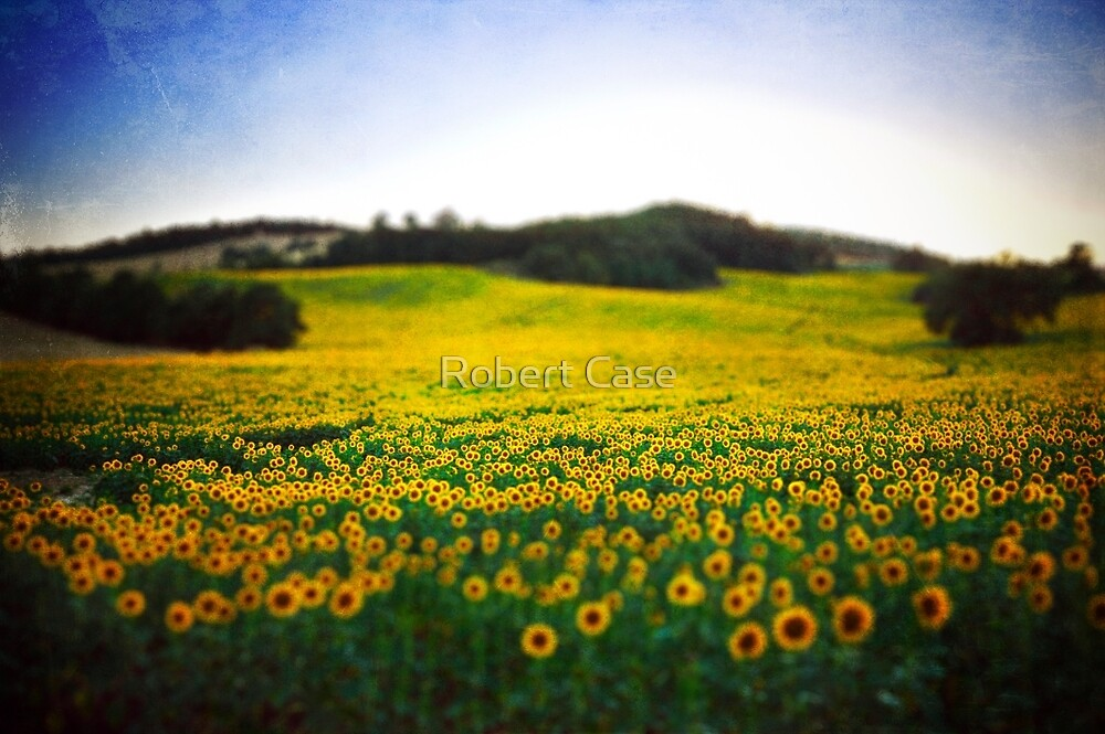 Sunflower Field by Robert Case