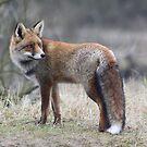 Red Fox - 1432 by DutchLumix