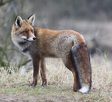 Red Fox - 1432 by DutchLumix