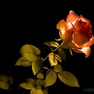 Glowing Rose by Lynni2