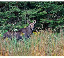 Moose in the meadow Photographic Print