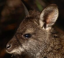 Bennett's Wallaby, Coles Bay Tasmania by Tom McDonnell