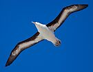 Soar (Black-Browed Albatross, Falklands) by Krys Bailey