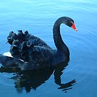 The Black Swan by Brian Beckett