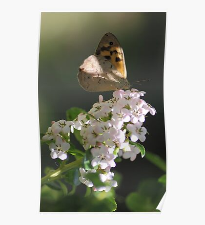 Butterfly on Flowers Poster