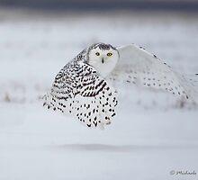 Snowy Owl in flight by PixlPixi