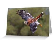American Kestrel Greeting Card