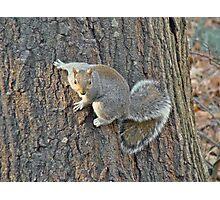 Gray Squirrel (Sciurus carolinensis) Photographic Print