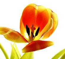 orange tulip #1 by Ronny Falkenstein