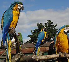 Parrots by kelzere