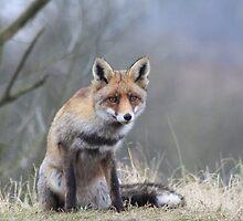 Fox - 1439 by DutchLumix