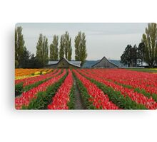 Tulips in Skagit Valley ~Washington state Canvas Print
