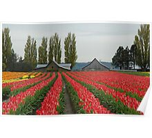 Tulips in Skagit Valley ~Washington state Poster