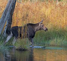Maine Moose in the water by Enola-Gay Wagner