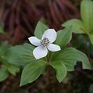 Bunchberry by Ted Widen