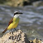 Great Kiskadee by Teresa Zieba