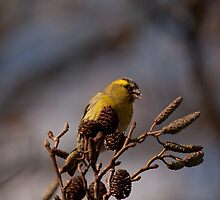 European Siskin by Jon Lees