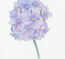 Hydrangea by Sue Brown