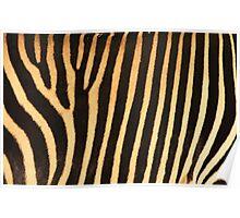 Grevy Zebra Design Poster