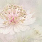 Astrantia by Beth Mason
