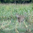 Young Buck In Velvet 2-2015 by Thomas Young