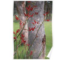 Red Kangaroo Paws Poster