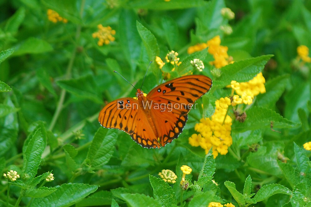 Orange butterfly on yellow flowers by Ben Waggoner