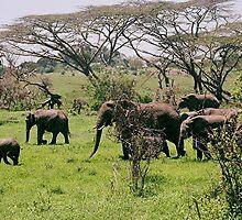 Baby Elephant Walk by © Loree McComb