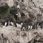Common Guillemots (Murres) + Kittiwakes by Stephen Stephen
