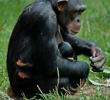 Chimpanzee Cuddling the Little one by AnnDixon