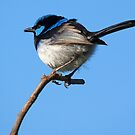 1. Superb Fairy Wren  by Cecily McCarthy