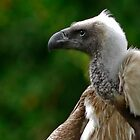 White Backed Vulture by Winston D. Munnings